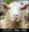 Κάντε click στην εικόνα για μεγαλύτερο μέγεθος.  Όνομα:Πρόβατο.jpg Προβολές:300 Μέγεθος:35,2 KB ID:422175