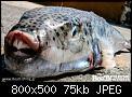 Κάντε click στην εικόνα για μεγαλύτερο μέγεθος.  Όνομα:lagokefaloi-sti-kriti-2.jpg Προβολές:261 Μέγεθος:74,7 KB ID:409331